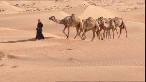 569593532-mener-chameau-dubai-desert-de-sable
