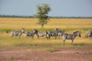 zebras-1016064_1280