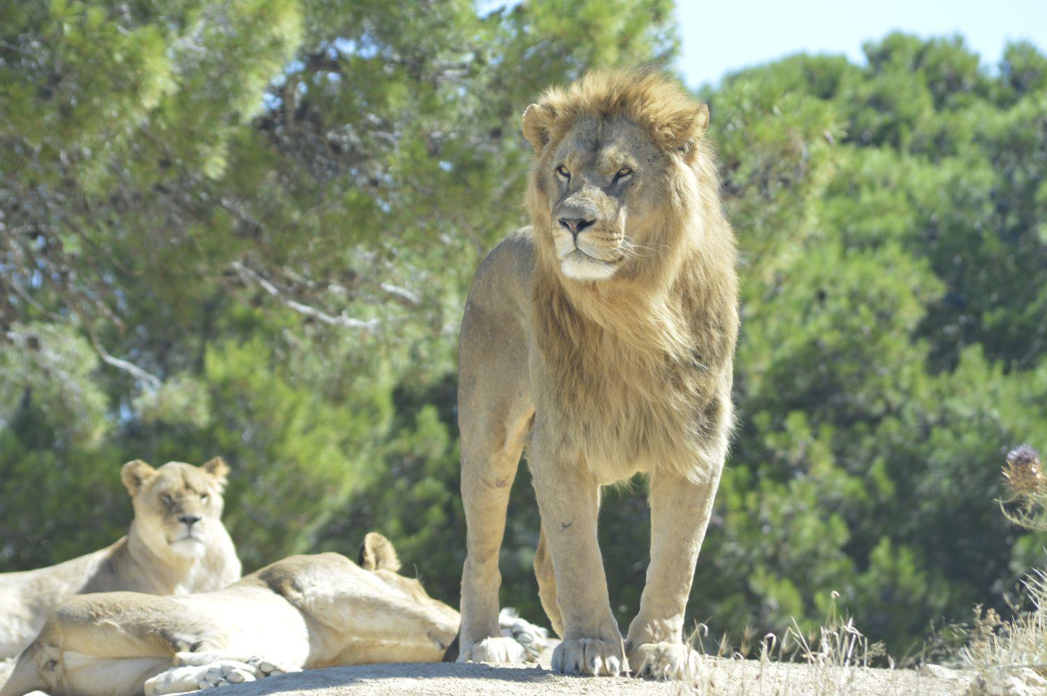 lion-2791730